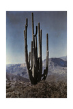 A Cactus Stands Tall in the Desert Photographic Print by Franklin Price Knott