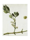 A Sprig of Oak Mistletoe and its Berries Giclée-tryk af Mary E. Eaton