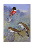 A Painting of Two Species of Cuckoo and a Coppery-Tailed Trogon Reproduction procédé giclée par Allan Brooks