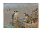A Painting of Two Adult Peregrine Falcons and their Young Reproduction procédé giclée par Allan Brooks