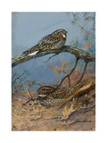 Painting of a Whippoorwill and a Chuck-Will'S-Widow Reproduction procédé giclée par Allan Brooks