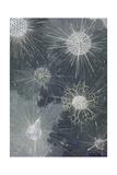 A Variety of Zooplankton Giclée-tryk af William H. Crowder