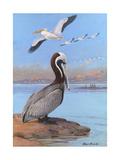 A Painting of Two Different Species of Pelican Reproduction procédé giclée par Allan Brooks
