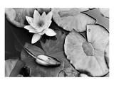 Water Lily Splendor, Central Park Poster