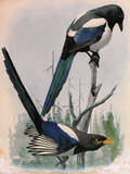 A Painting of Two Species of Magpie Perched on Tree Branches Giclée-tryk af Louis Agassi Fuertes