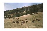 In a Pasture Near Pleasanton Hereford Cattle Graze Fotografisk trykk av Charles Martin