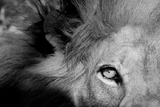 Close Up of the Eye of a Male Lion, Panthera Leo Fotografie-Druck von Sergio Pitamitz