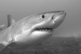 Close Up Portrait of a Great White Shark, Carcharodon Carcharias Reproduction photographique par Jeff Wildermuth
