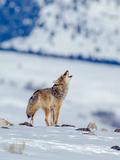 A Coyote Howls in a Winter Landscape Fotografie-Druck von Tom Murphy