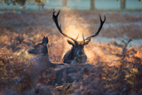 A Red Deer Stag and Doe in the Autumn Mists of Richmond Park During the Rut Impressão fotográfica por Alex Saberi