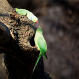 Two Ring-Necked Parakeets Make Contact on the Trunk of a Oak Tree Impressão fotográfica por Alex Saberi