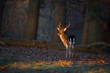 A Young Fallow Deer, Illuminated by the Early Morning Orange Sunrise, Looks Back Fotografisk tryk af Alex Saberi