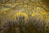 Lavender and a Sunlit Tree in the Early Morning Near San Gimignano Photographic Print by Tino Soriano