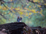 A Gray Squirrel, Sciurus Carolinensis, Sits on a Log Eating Nuts in Autumn Impressão fotográfica por Alex Saberi