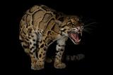 A Federally Endangered Clouded Leopard, Neofelis Nebulosa Fotografisk trykk av Joel Sartore