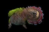 A Hawk-Headed Parrot, Deroptyus Accipitrinus Lámina fotográfica por Sartore, Joel