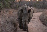A White Rhinoceros, Ceratotherium Simum, Walking Down a Dirt Road at Dusk Fotografisk tryk af Sergio Pitamitz