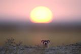 A Black-Footed Ferret, Mustela Nigripes, Peering from its Burrow at Sunset Lámina fotográfica por Michael Forsberg