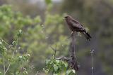 A Black Kite, Milvus Migrans, Perched on a Dead Tree Branch Reproduction photographique par Sergio Pitamitz