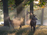 A Red Deer Stag and a Doe Wait in the Early Morning Mists in Richmond Park in Autumn Impressão fotográfica por Alex Saberi