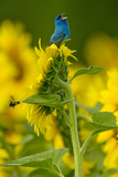 An Indigo Bunting, Passerina Cyanea, on a Sunflower Singing to Claim its Territory Photographic Print by Paul Sutherland