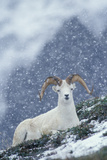 A Dall's Sheep Rests on a Hillside in a Snowstorm Fotografie-Druck von Tom Murphy