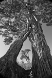 A Pair of Baobab Trees, Adansonia Digitata, with Large Roots, Growing Together Mid-Way Up their Tru Impressão fotográfica premium por Beverly Joubert