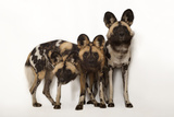 African Wild Dogs, Lycaon Pictus, at the Omaha Zoo Fotografisk tryk af Joel Sartore