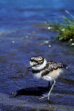 A Killdeer Chick, Less Than a Week Old Reproduction photographique par Tom Murphy