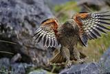 An Alpine Parrot known by its Maori Name, Kea Fotografisk trykk av Michael Melford