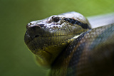 The Scaled Head of a Green Anaconda Peers from its Large Muscular Coils Fotografisk tryk af Jason Edwards