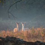 Two Fallow Deer Females, Dama Dama, in Early Morning Haze in Richmond Park Impressão fotográfica por Alex Saberi