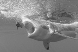 Portrait of a Great White Shark, Carcharodon Carcharias, Chasing a Bait with its Mouth Open Reproduction photographique par Jeff Wildermuth