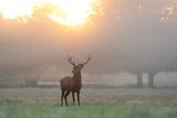 A Red Deer Stag Stands in Autumn Mist at Sunrise Impressão fotográfica por Alex Saberi