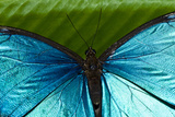 The Iridescent Metallic Blue Scales and Veins on the Wing of a Menelaus Blue Morpho Butterfly Impressão fotográfica por Jason Edwards