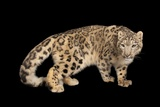 An Endangered Snow Leopard, Panthera Uncia, at the Miller Park Zoo Fotografisk tryk af Joel Sartore