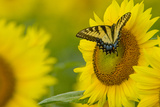 Portrait of an Eastern Tiger Swallowtail, Papilio Glaucus, on a Sunflower Photographic Print by Paul Sutherland