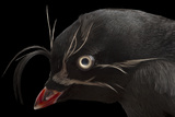 A Whiskered Auklet, Aethia Pygmaea, at the Cincinnati Zoo Reproduction photographique par Joel Sartore