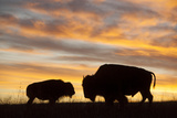 A Silhouette of a Herd of Bison
