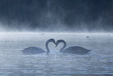 Two Mute Swans in Love, Cygnus Olor, Swim in a Pond in Richmond Park at Sunrise Stampa fotografica di Alex Saberi
