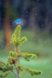 A Male Mountain Bluebird Perched on the Top of a Small Lodgepole Pine, Watching for Insects Fotografisk tryk af Tom Murphy