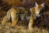 A Coyote on the Lookout for Mice and Other Prey Lámina fotográfica por Tom Murphy