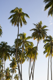Palm Trees on Moorea Island Photographic Print by Andy Bardon