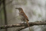 A Brown Thrasher, Toxostoma Rufum, in Lincoln, Nebraska Reproduction photographique par Joel Sartore
