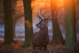 A Large Majestic Red Deer Stag in the Orange Early Morning Glow in Richmond Park Impressão fotográfica por Alex Saberi