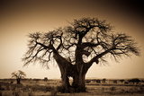 An Elephant-Made Hole in a Large Baobab Tree, Ruaha National Park, Tanzania Fotografisk tryk af Robin Moore