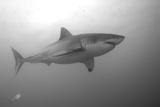 Portrait of a Male Great White Shark, Carcharodon Carcharias, Swimming Fotografie-Druck von Jeff Wildermuth