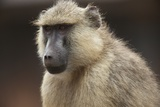 Close Up Portrait of a Baboon, Papio Species Photographic Print by Bob Smith