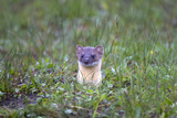 A Long-Tailed Weasel, Mustela Frenata, Peeking Up Above the Grass from a Burrow Lámina fotográfica por Robbie George
