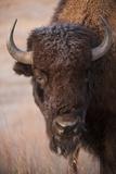 A Bison, Gaur Bos, on a Ranch Near Valentine, Nebraska Fotografie-Druck von Joel Sartore
